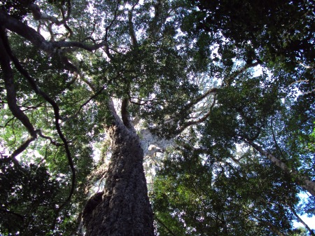 Trees in Knysna Forest