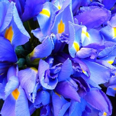 irises, flowers, purple