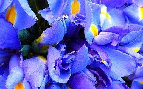 irises, flowers, purple