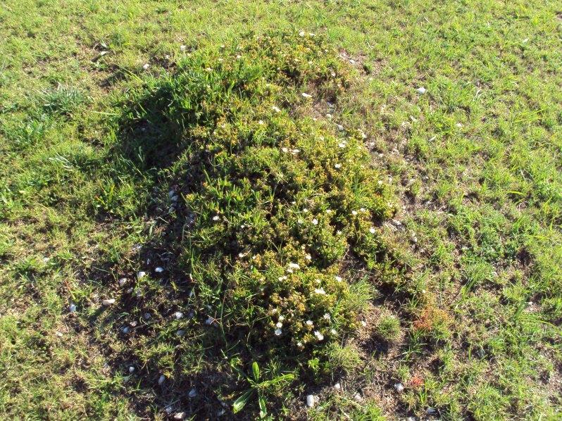 grave, white flowers, simbelmyne