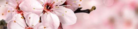 blog banner with cherry blossoms on pink background